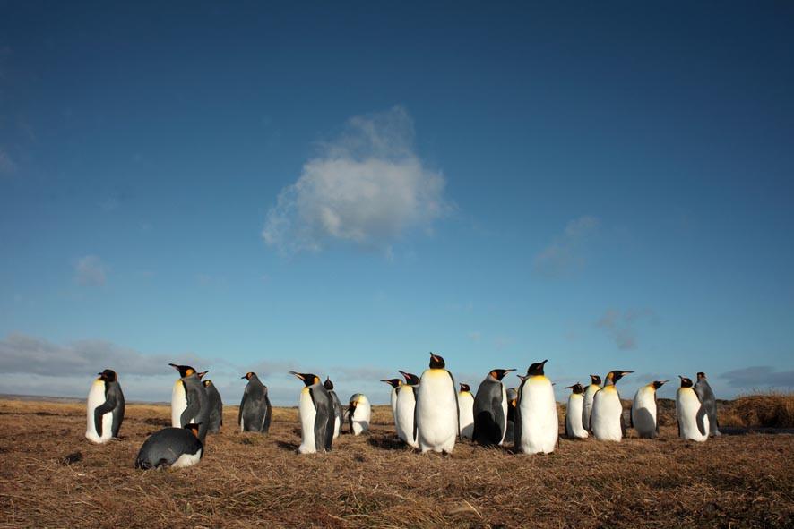 Pinguino_Rey,_Marrazzi,_Bahía_Inutil.jpg