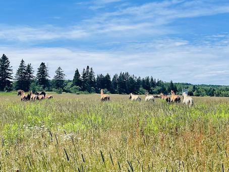 Horse Herd Behaviour
