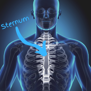 Image of skeleton with the sternum highlighted, the vertical bone running down the front of your chest where the ribcage meets.