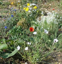 Wildflower meadow Bedfordshire