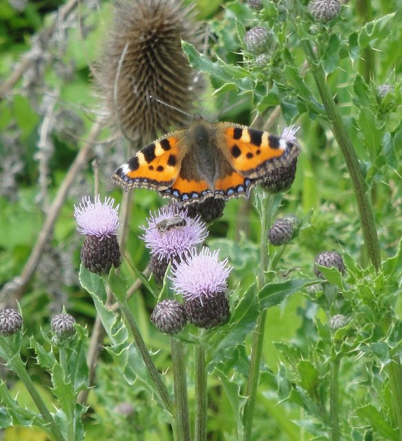Tortoiseshell butterfly Essex