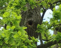 Woodpecker nest site in oak
