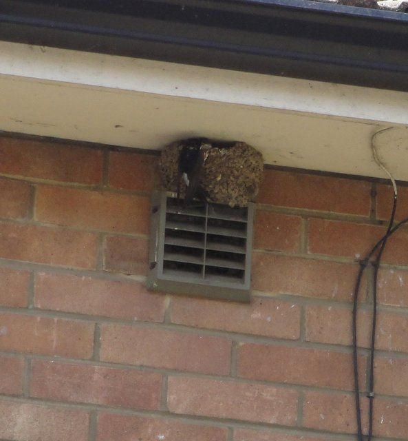 House martin nest Bedford