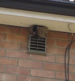 House martin nest Bedford
