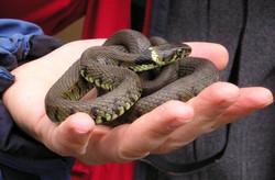 Grass snake Hampshire