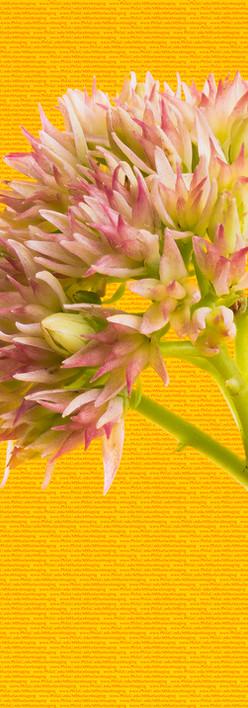 Pink Sedum - Close up