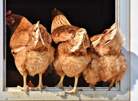 Imported chicken tariffs: A boom for big business, bust for life-saving small – Unati Speirs