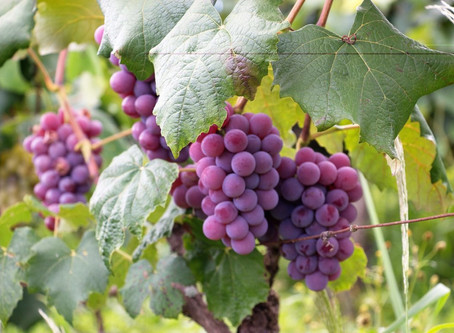 Black wine businesses 'snubbed by government'
