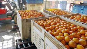 Black SA citrus growers see 40% hike in production