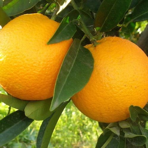 Sweet Orange Essential Oil (Citrus sinensis)