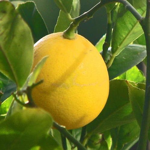 Lemon Essential Oil (Citrus limonum)