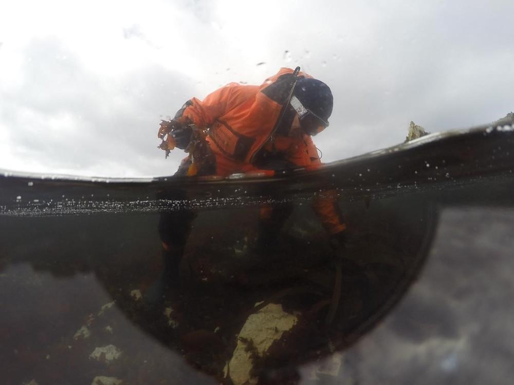 Na foto há uma pessoa coletando as macroalgas na antártica. A pessoa usa roupas, óculos e touca para se proteger do frio.