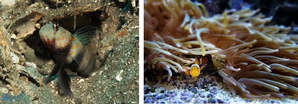ALT: a imagem da esquerda msotra um peixe goby em uma fissura em rocha com corais como refúgio, a imagem da direita mostra dois peixes palhaço se refugiando em uma anêmona.