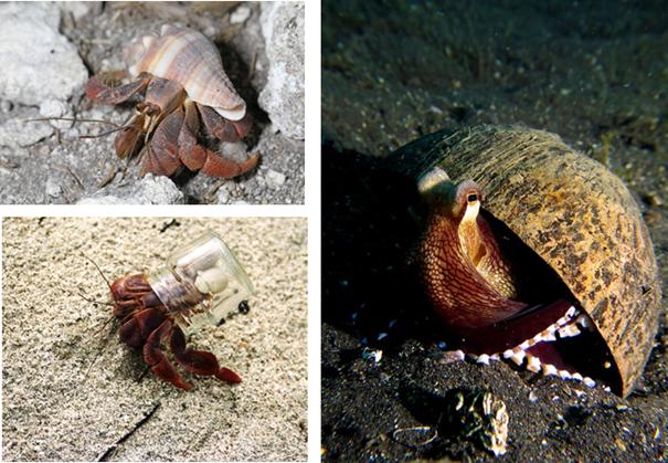 Alt: (1) um caranguejo eremita sobre a areia da praia, com o mar ao fundo, usa o sua concha de cor branca e laranja; (2) caranguejo eremita na areia,  utilizando um frasco de vidro como refúgio (3) polvo utilizando uma casca de côco como refúgio.