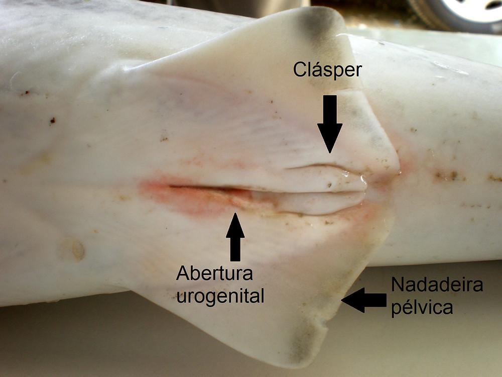 Na imagem observamos a abertura urogenital, a nadadeira pélvica e o clásper de um tubarão-galha-preta macho. Modificado de Wikimedia Commons com licença: CC BY-SA 3.0.