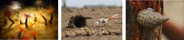 Alt:  (1) poliquetas saindo de seu tubo com uma série de cerdas rosada, a coroa branquial; (2) caranguejo Uca em sua toca, na areia ; (3) gastrópode em sua concha.