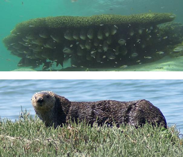 ALT: duas fotos, a superior mostra um cardume abaixo de um coral tabular e a foto inferior mostra três lontras deitadas na areia da praia e uma saindo do mar.