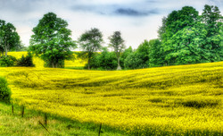 yellow field