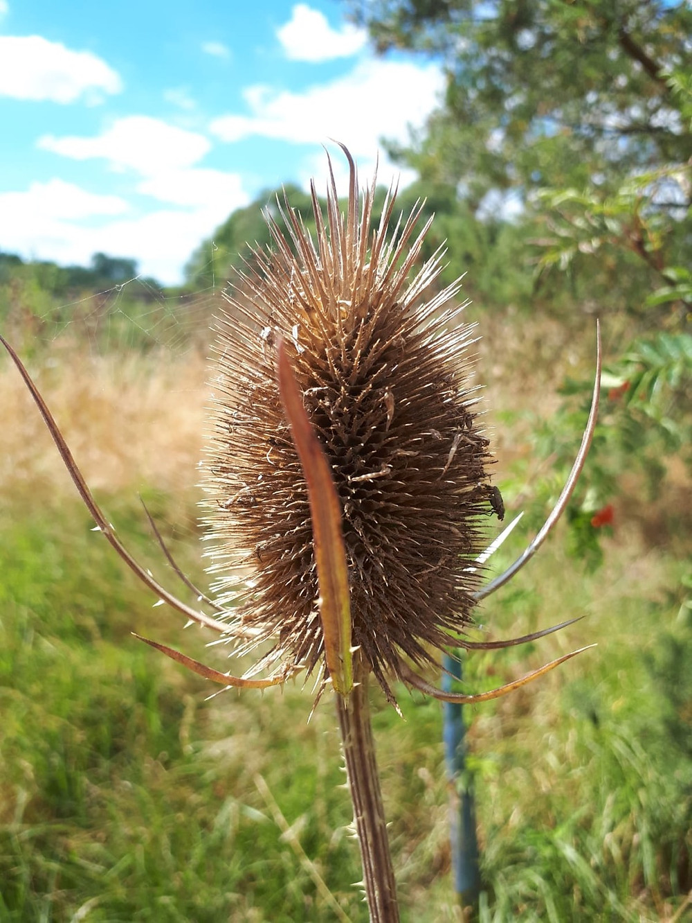 The prickly beauty of Teasel (Dipsacus fullonum) Seedheads LN