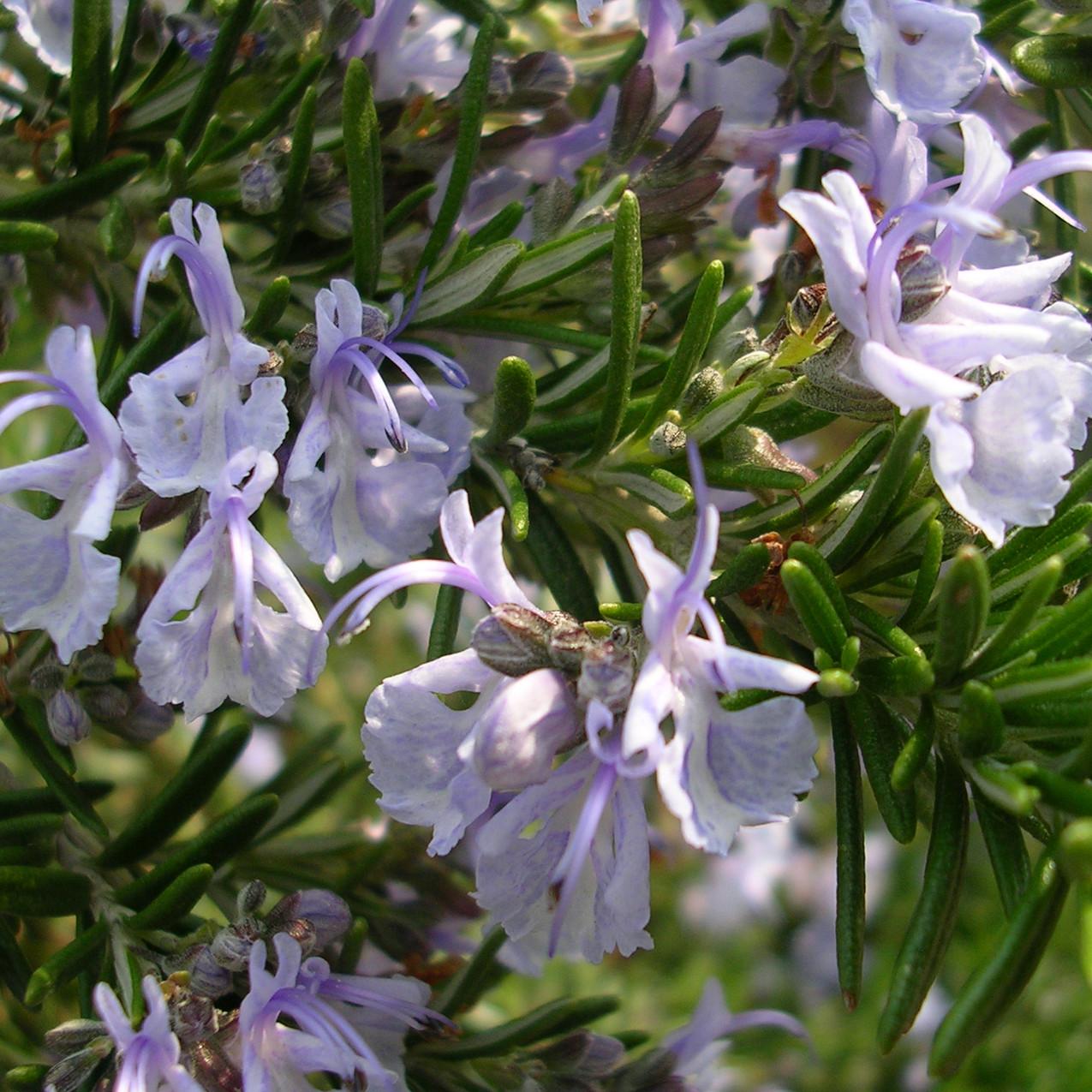 Rosmarinus officinalis Prostratus Group