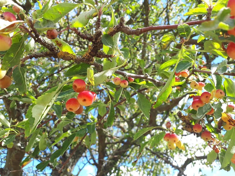 Wild Crabapple (Malus floribunda) fruit LN