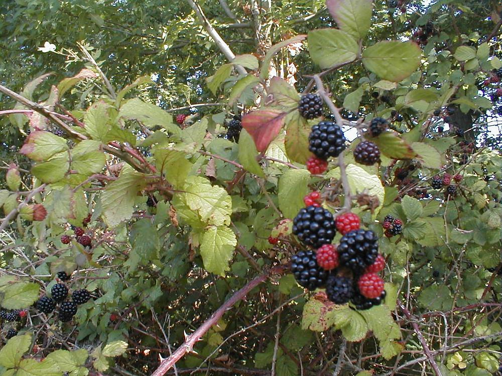 Rubus fruticosus (Brambles) in Kent, Summer 2019