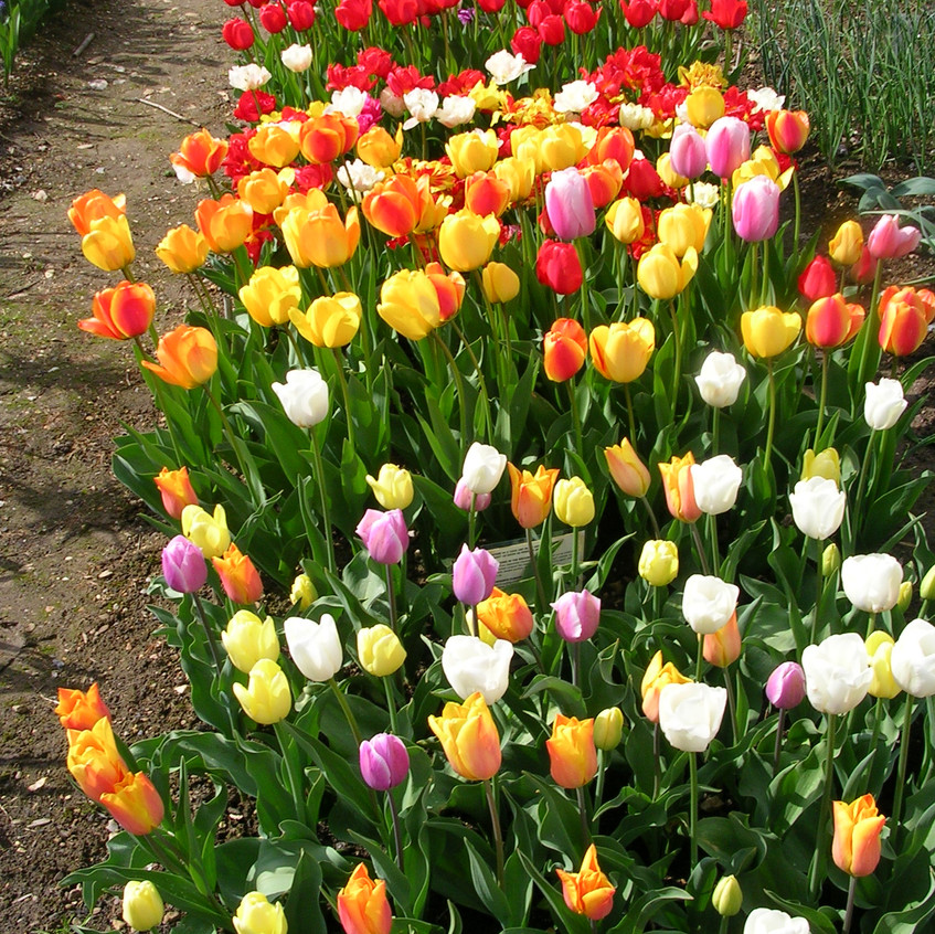 Tulips in bulb trials