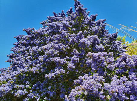 What I've Learned Series - Top Tip - Ceanothus