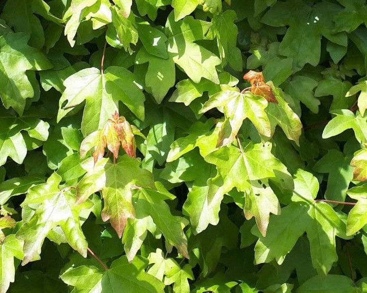 Fresh, young Foliage on Acer campestre LN