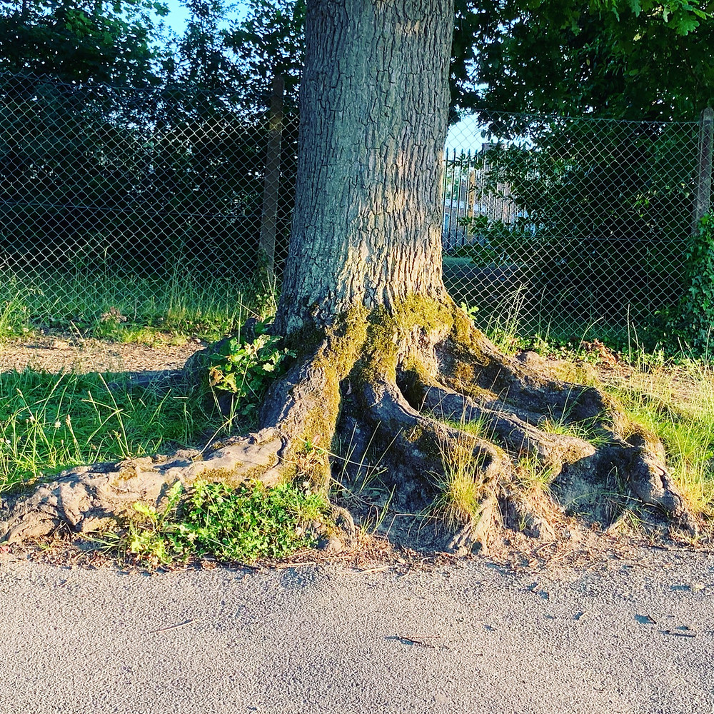 Feeling the squeeze! Surface roots on Quercus (Oak) LN