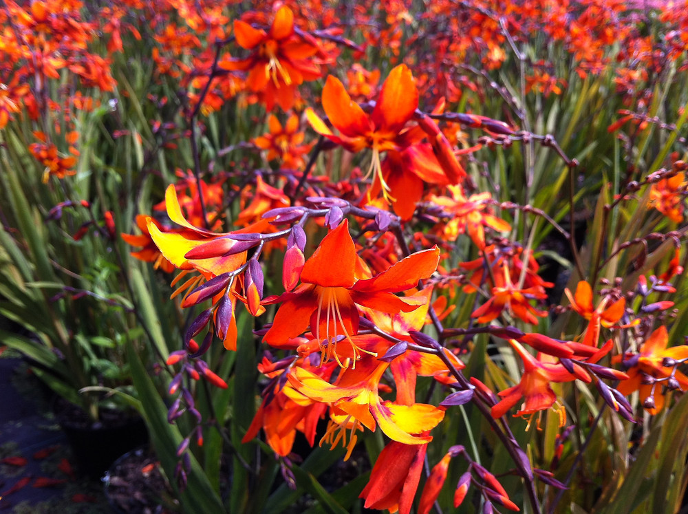 The striking colours of Crocosmia 'Emily MacKenzie' LN