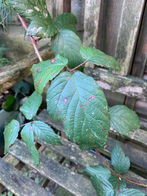 Rubus fruticosus (Bramble) in February 2020