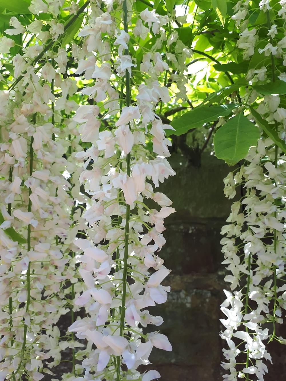 Wisteria floribunda 'Shiro-noda'  flower LN