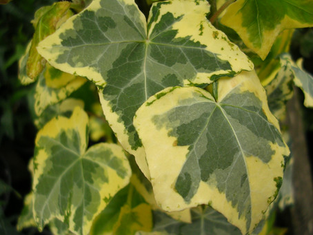 Variegated Climbing Plants