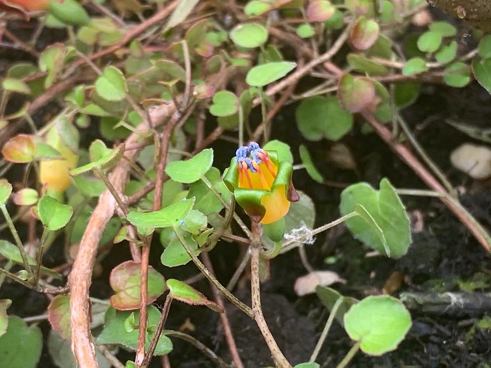 Fuchsia procumbens (Creeping Fuchsia) LN