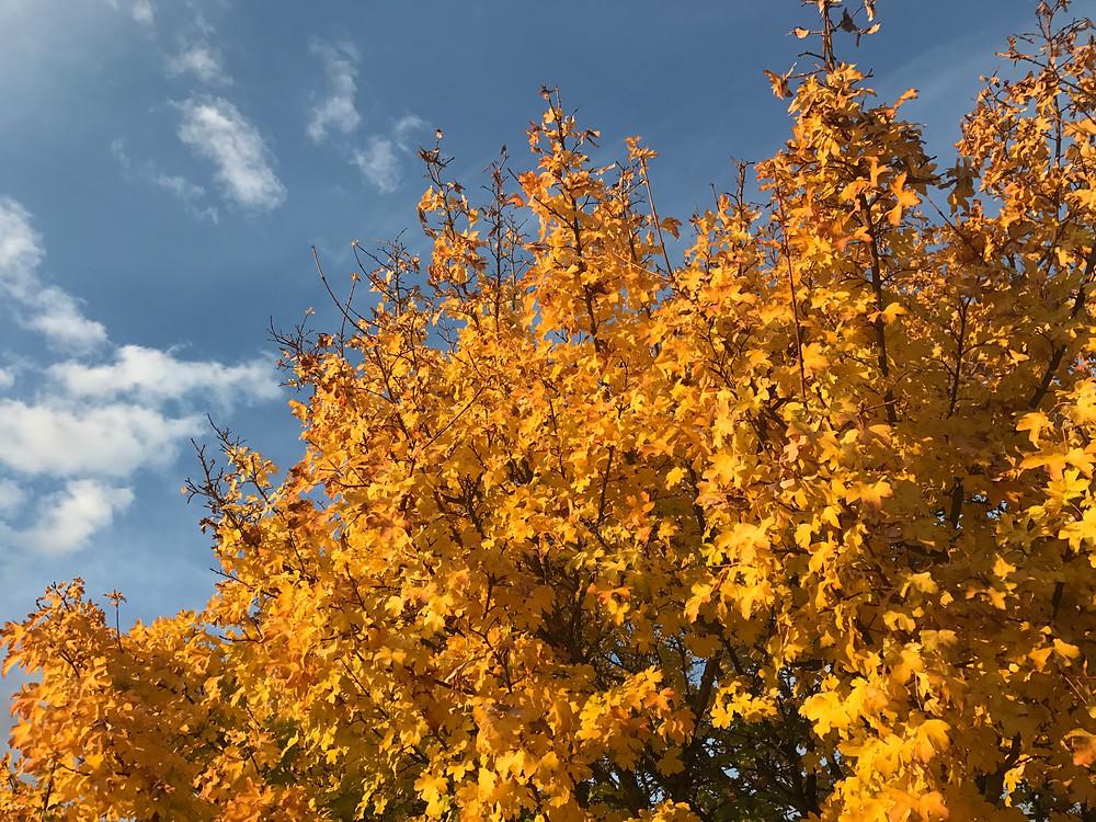 Acer campestre Autumn Colour LN