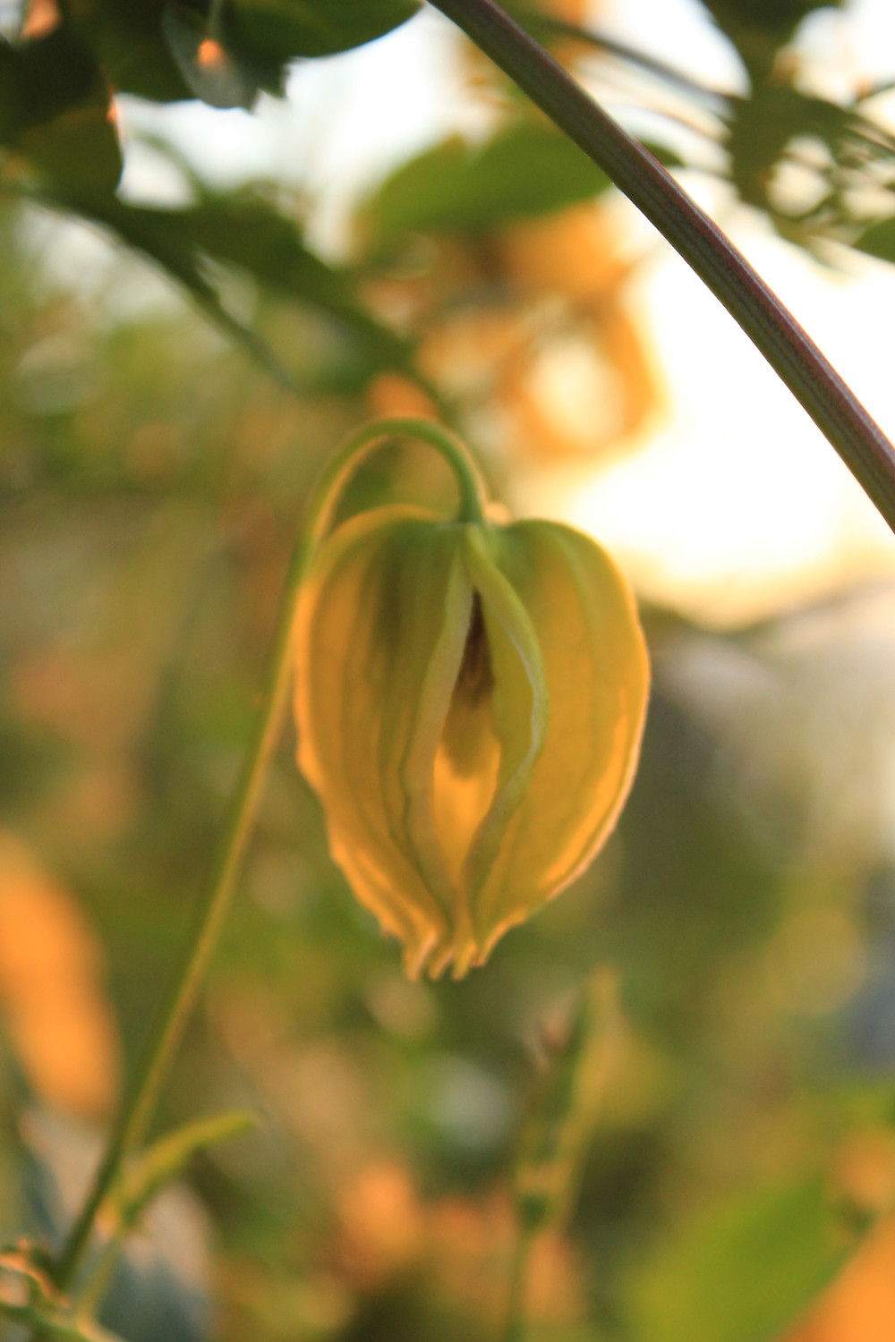 Magical Moments illuminate Clematis 'Bill MacKenzie' LN