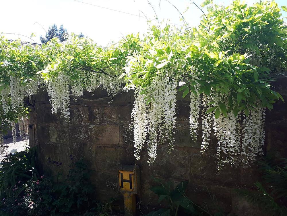 Wisteria floribunda 'Shiro-noda' LN
