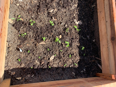 seedlings in the cold frame