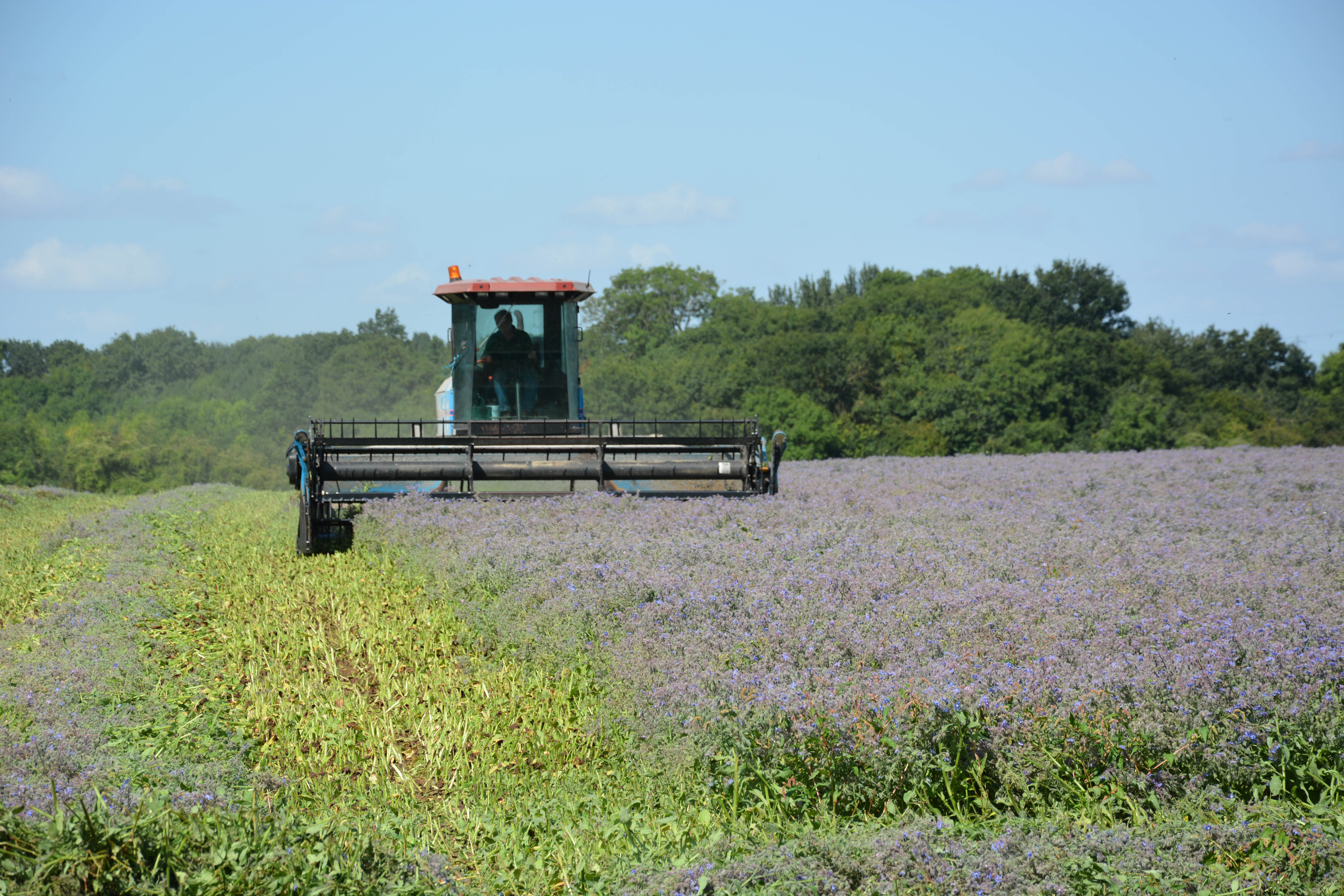 Borage Swathing