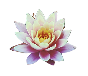Canva%2520-%2520Pink%2520Waterlily%2520F