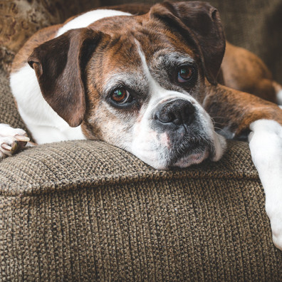More Older Dogs Are Showing Signs of Dementia