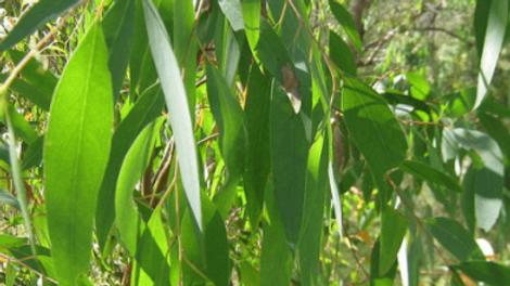 Huile Essentielle - Eucalyptus Officinal