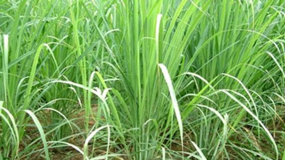 Huile Essentielle - Lemongrass (Verveine des Indes)