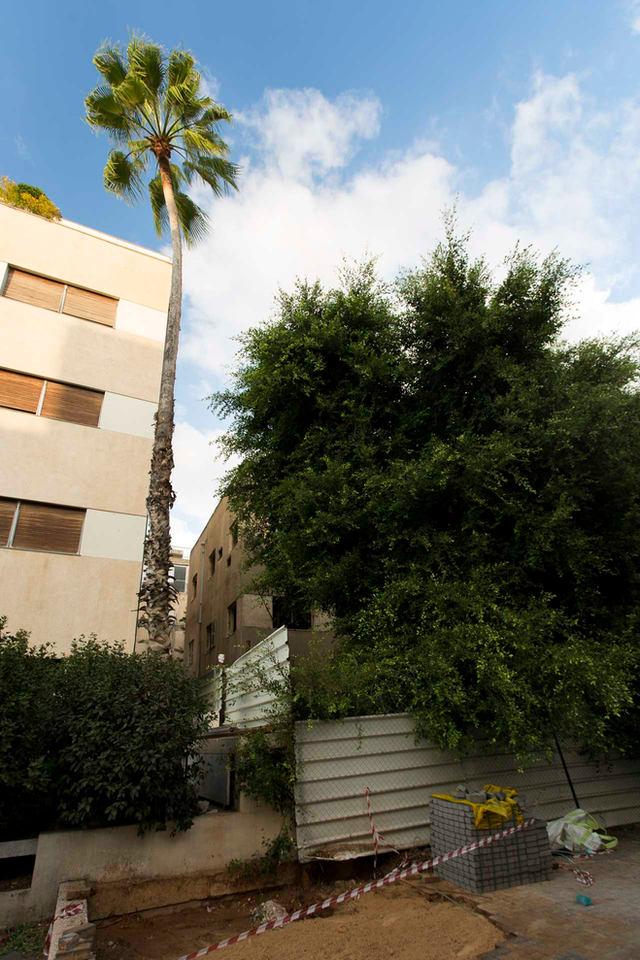 עץ הדקל הנצחי ברחוב אנגל, תל אביב 2020