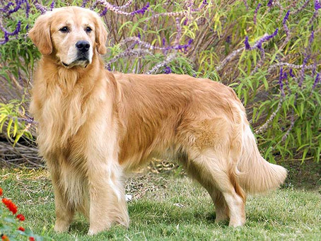 Which breed might be related to the Golden Retriever?