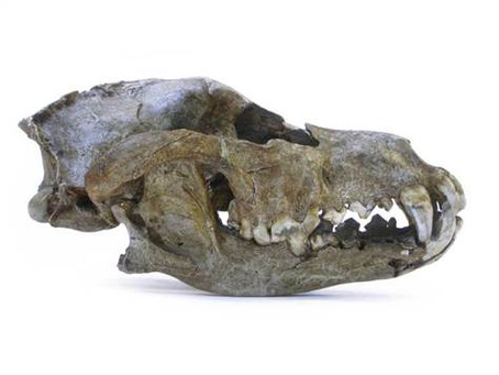 World's oldest dog lived 31,700 years ago. Which breed did it resemble? Where was it excavated?