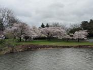 Cherry blossoms along Cedar River
