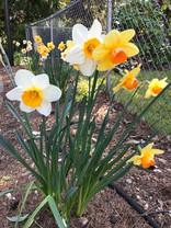 Daffodils at church