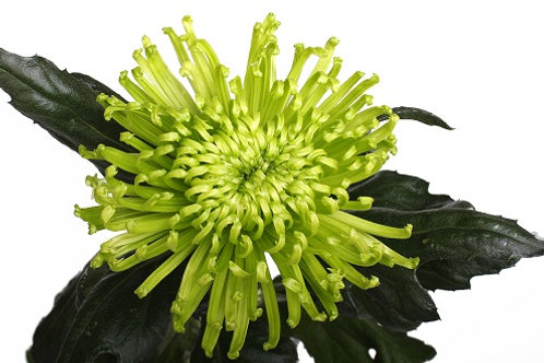 Хризантема Анастасия green